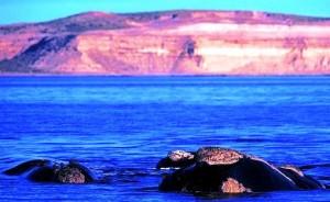 Un censo detectó 1.117 ballenas en Península Valdés